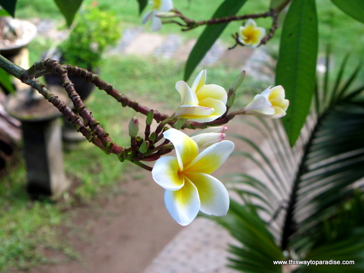 Frangipani tree at Billy Pendawa