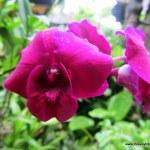 Pink flower in Ubud