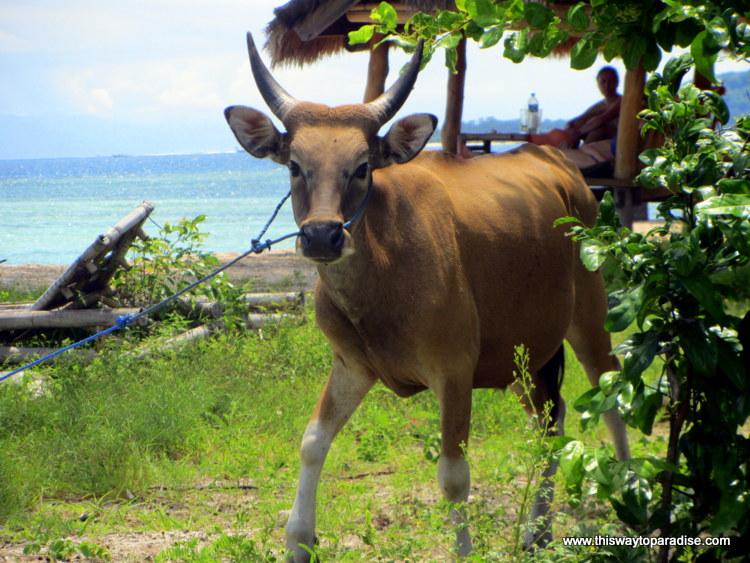 Cow on Gili Air, Gili Islands