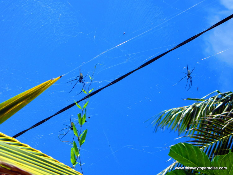 Gili Air Spider, Gili Islands
