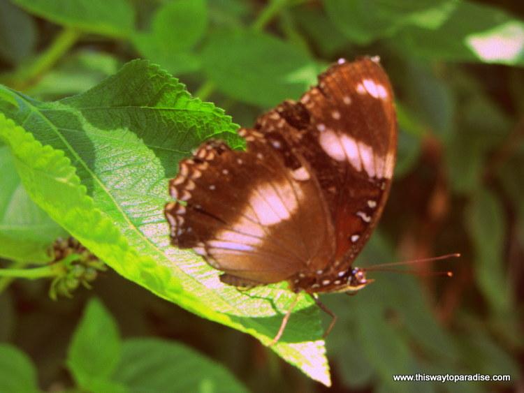 Butterfly on Gili Meno, Gili Islands