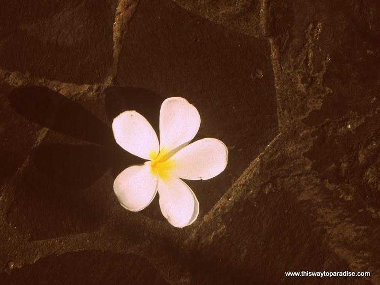 Frangipani flower, in Amed, Bali