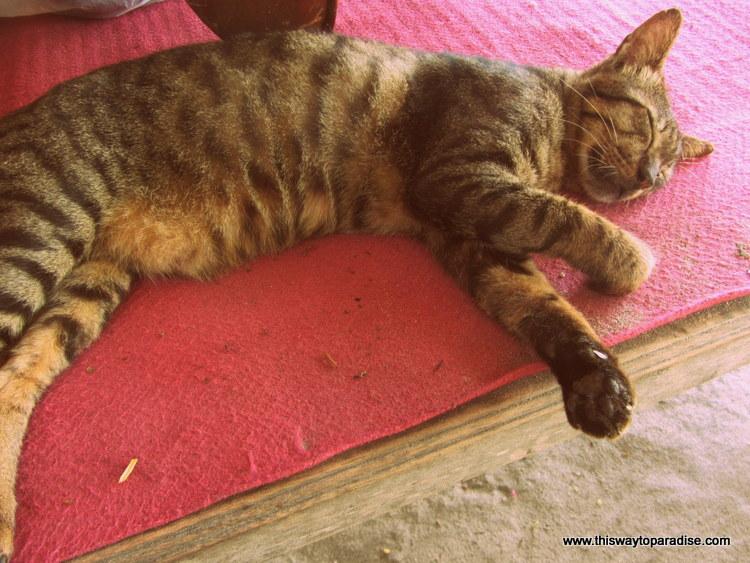 Gili Island Cat