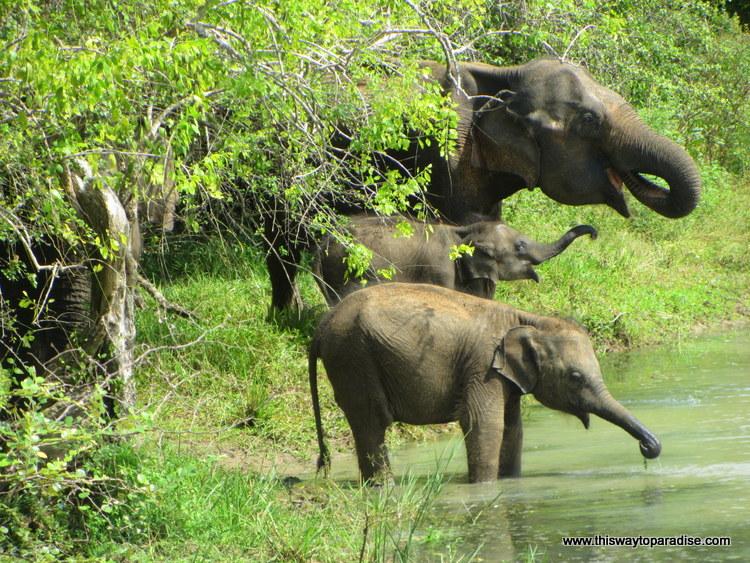 Elephant in Sri Lanka, Yala Park