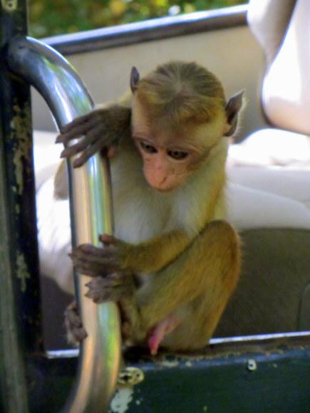 Monkey in Yala Park, Sri Lanka