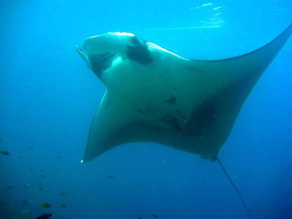 Manta ray seen while diving in the Raja Ampat islands