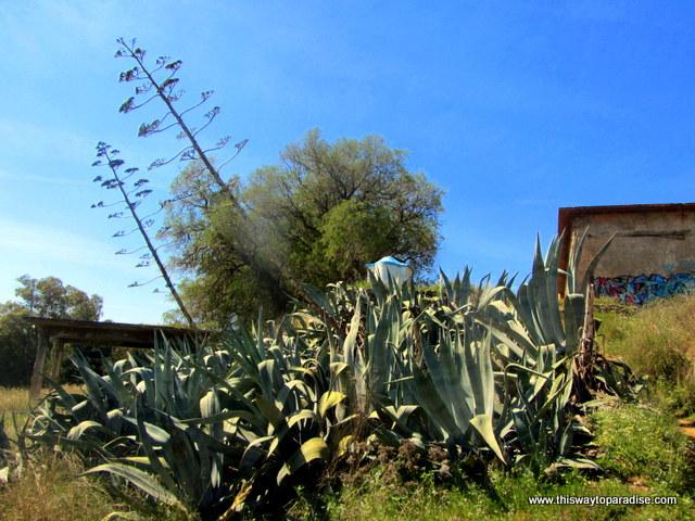 Agave in Crete