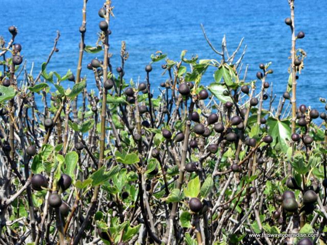 Fig tree at Agii Apostoli beach