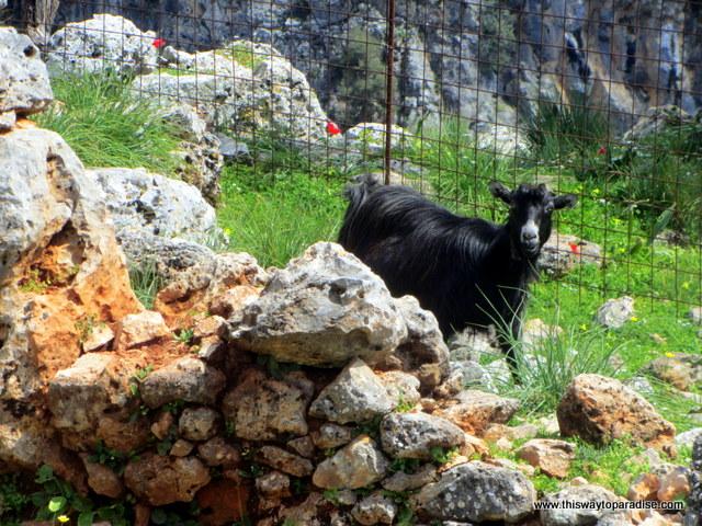 Goat in Crete