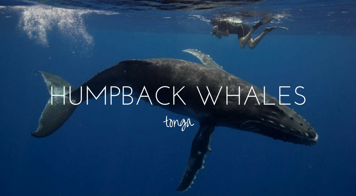 Swimming with Giants - the Humpbacks of Tonga