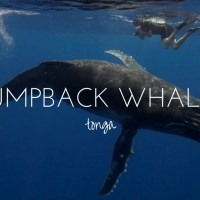 Swimming with Giants - the Humpbacks of Tonga