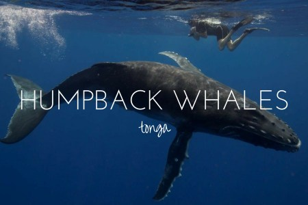 Swimming with the humpback whales of Tonga