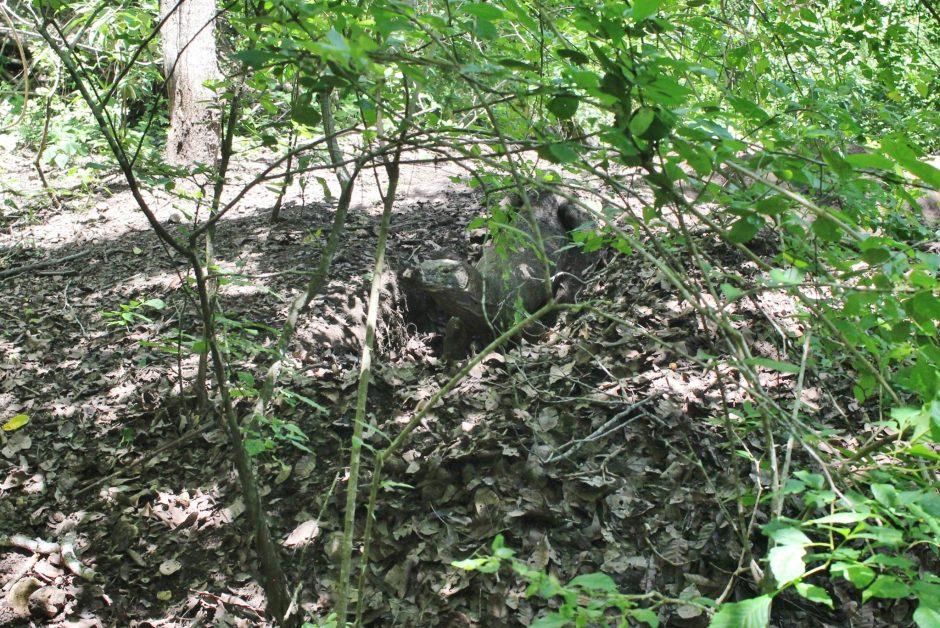 Komodo Dragon wild in Indonesia