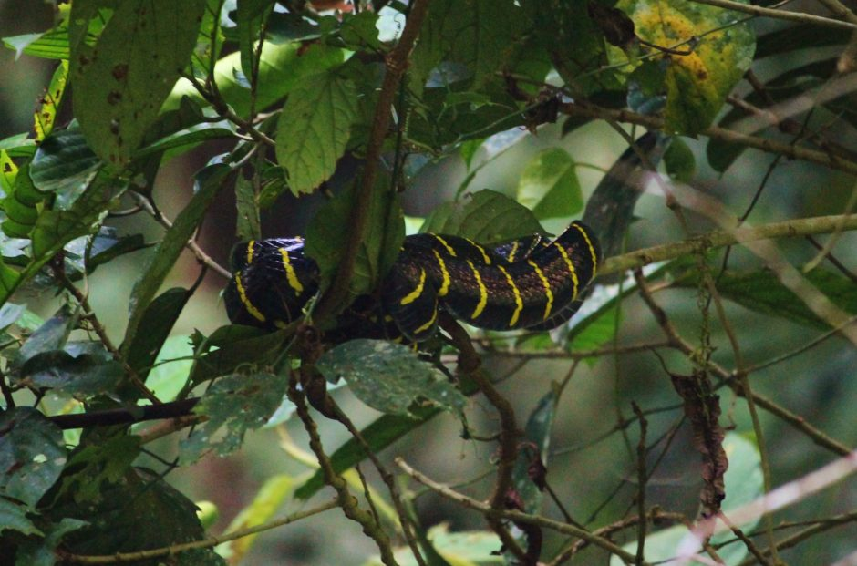 Snake curled in a tree in Mulu National Park
