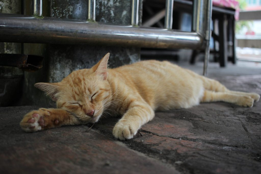 A sleeping cat in Brunei