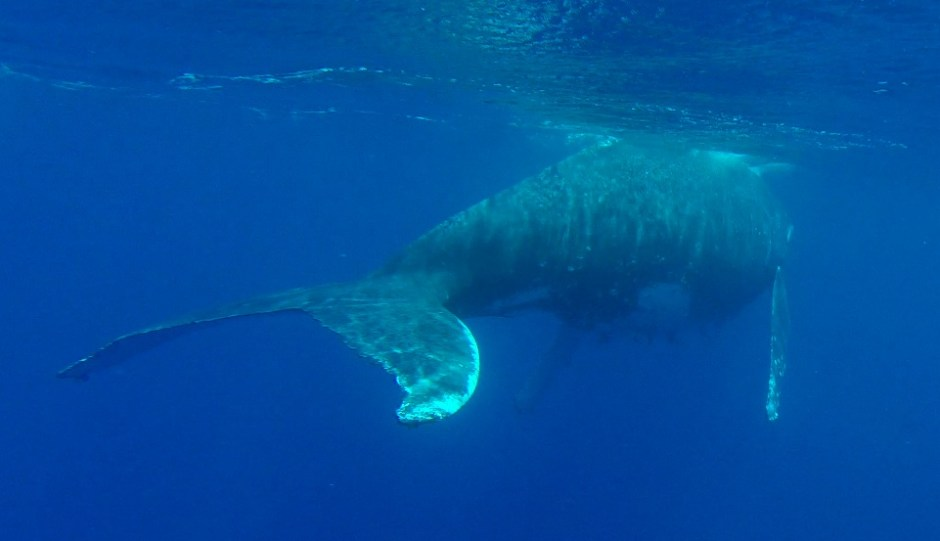 Humpback whale under the water in Tonga
