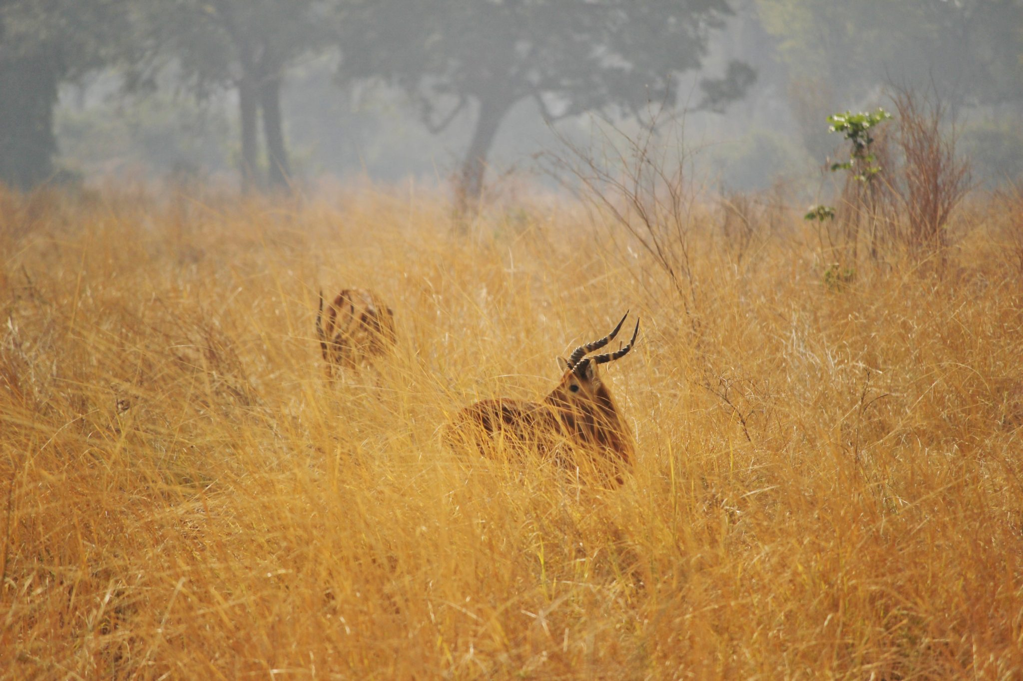 Antelope in long grass, Zambia