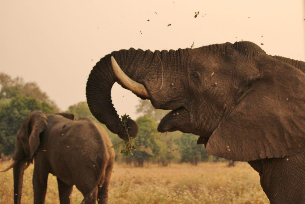 An elephant eating, Zambia