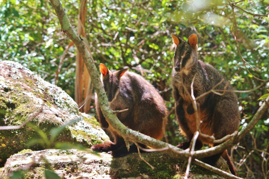 Wallabies in the forest, Australia