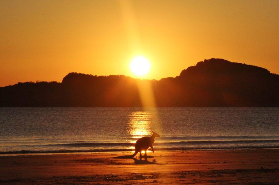 A kangaroo sits on the beach at sunrise in Cape Hillsborough, Australia