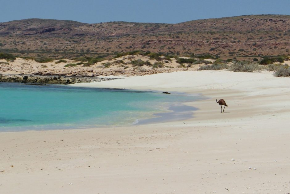 An emu walking on the beach, Australia