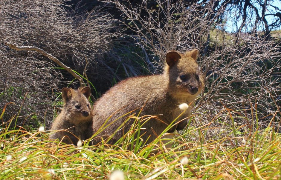 The famous quokkas on Rottnest Island, Australia