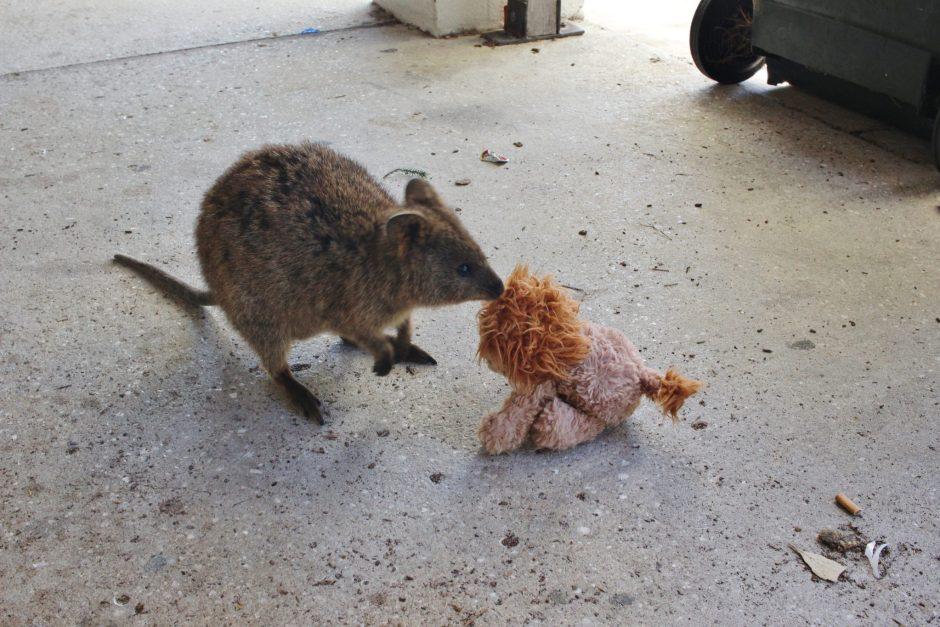 One of the famous quokkas on Rottnest Island, Australia