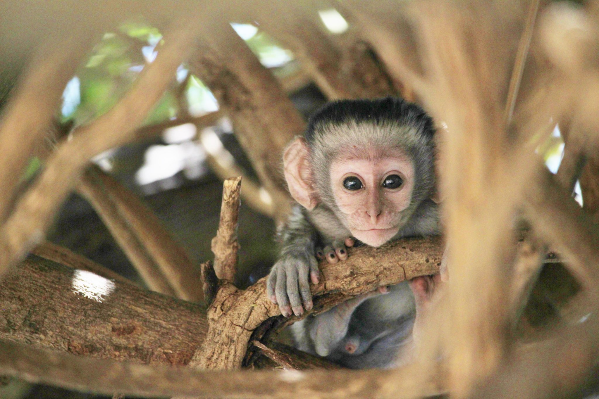 A baby vervet stares at the camera in Liwonde National Park, Malawi