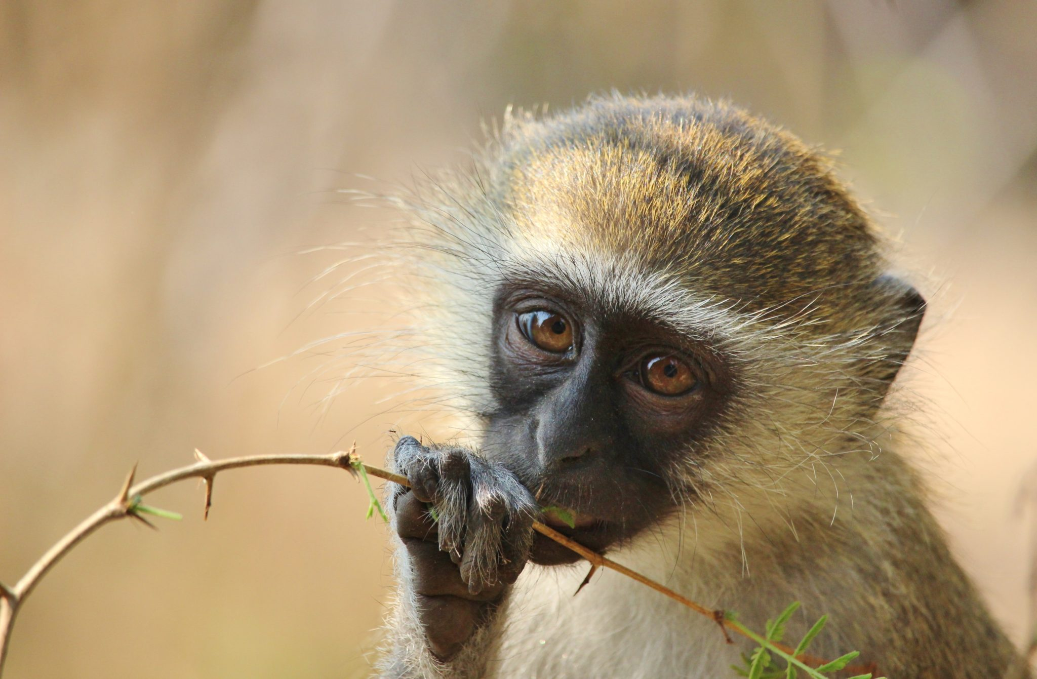 A vervet monkey in Liwonde National Park, Malawi