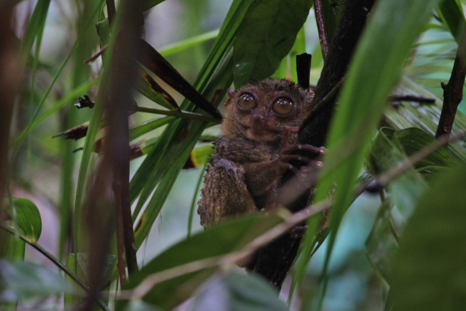 The weird and wonderful tarsier, a tiny primate from Bohol in the Philippines