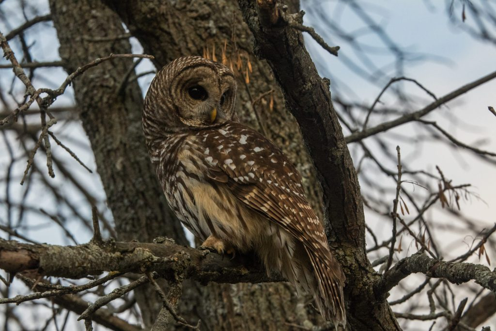 A barred owl after release from Sandy Pines Wildlife Centre, Ontario, Canada