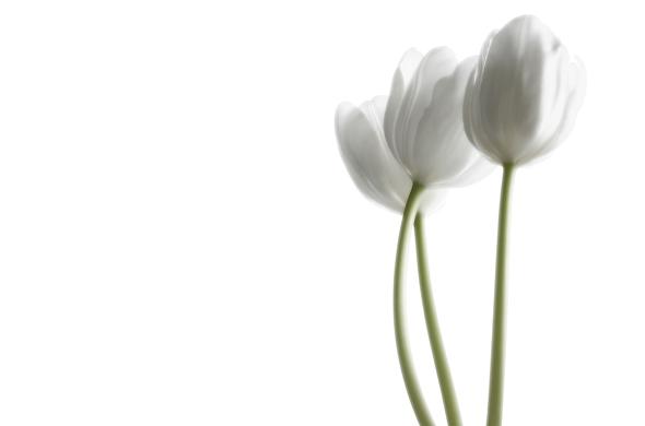 white_tulips_05