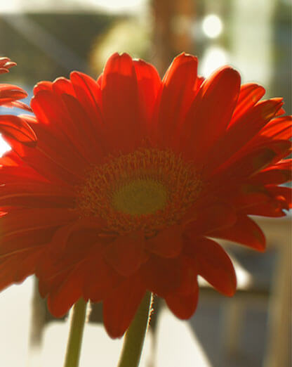 Gerbera daisy love Thomas Henthorne top agent real estate Marin County