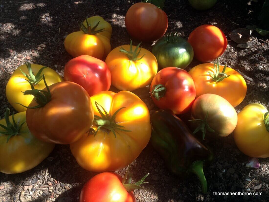 Marin Tomatoes County Tomato Tips Thomas Henthorne Prune Diagram Of Plant