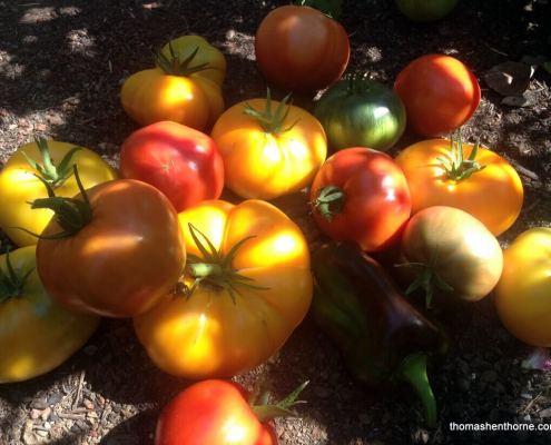 ripe marin tomatoes on soil