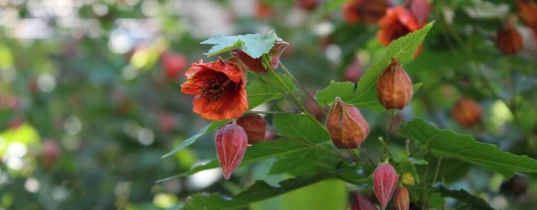 Photo of Abutilon Flower