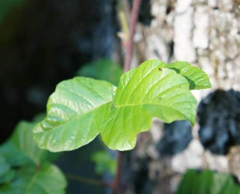 poison oak leaves