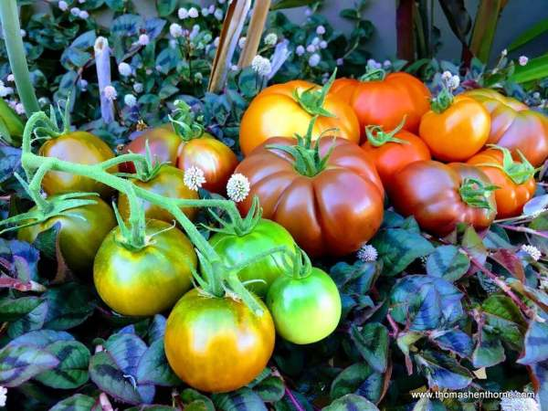 Best Tomatoes to Grow in Marin County group of tomatoes