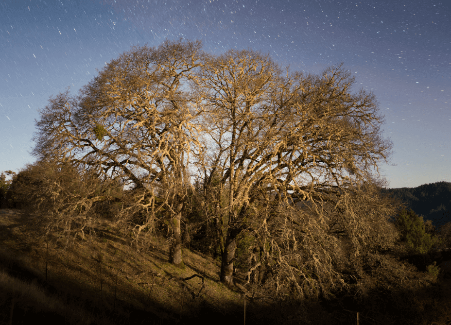 Love Oak tree with stars