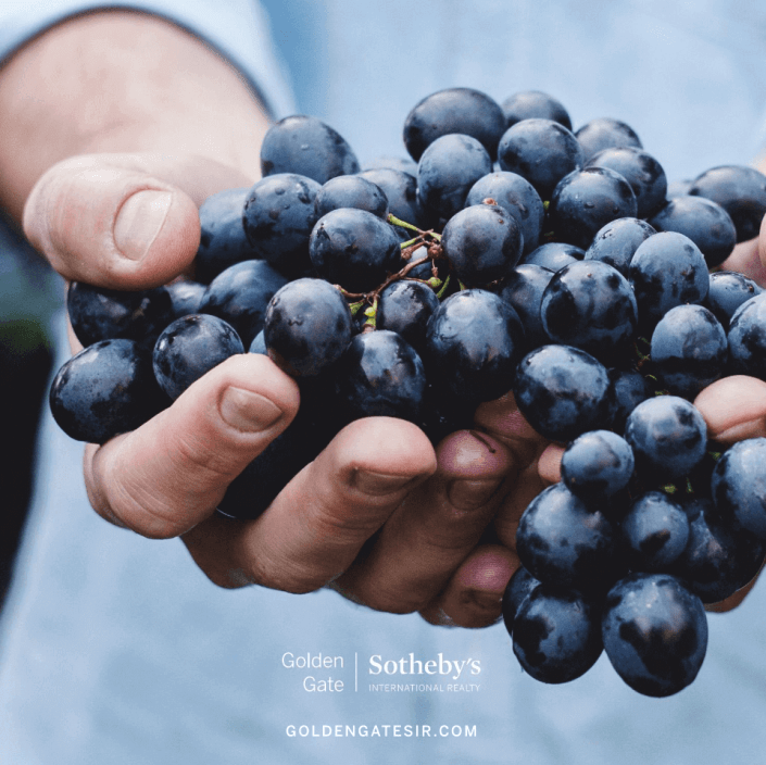 Hands holding ripe grapes