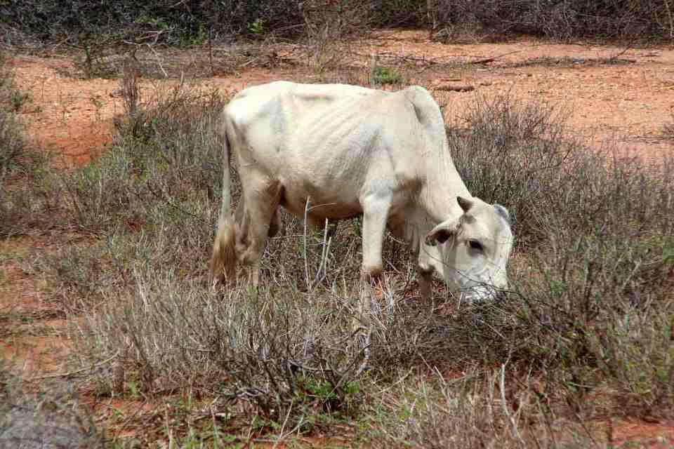 Abgemagerte Kuh in Kenia: Auch Tiere leiden unter dem Klimawandel © Tom Rübenach