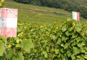 Un avis rouge et blanc signale que la vigne est assurée contre la grêle et a été sinistrée le 20 juin.