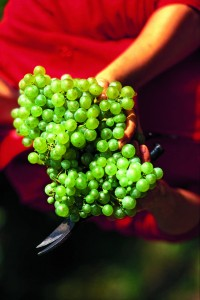 Le glera produit de grosses grappes, à baies plutôt petites et juteuses.