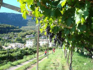 Paysage typique de la région de l'Amarone, avec des vignes en pergola.