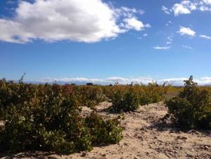 Rueda (Espagne) et Collio (Italie)  Vins blancs de terroir ou de cépage ?