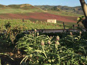 Artichauts et vignes dans la région d'Alcamo.