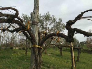 Dans la région du Taurasi, de vieux ceps sont encore cultivés en hauteur, parmi les oliviers, et attachés à leur tuteur de châtaignier par de l'osier.