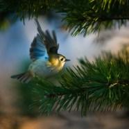 Tankar kring en bild #29 – Kungsfågeln