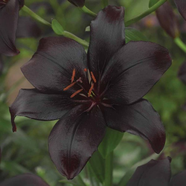 Black Lillies at Thompson Morgan