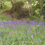 Bluebells near Thorntree Barn